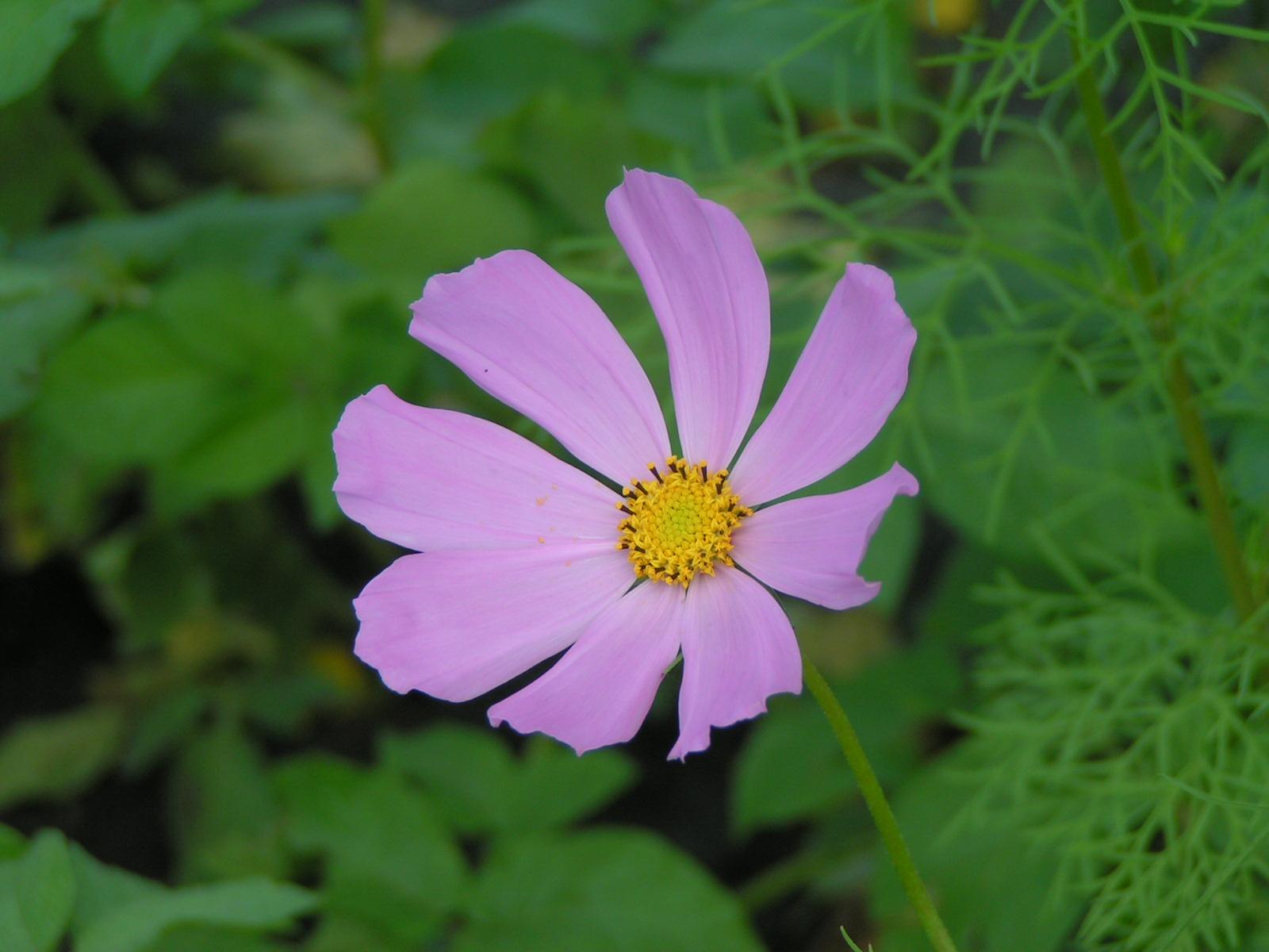 Цветок с 5 лепестками название и фото
